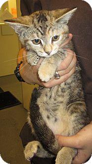 Domestic Shorthair Kitten for adoption in Westminster, California - Amelia