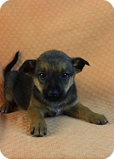 Border Terrier Mix Puppy for adoption in Westminster, Colorado - Lucas