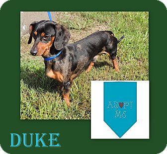 Dachshund Dog for adoption in Hammond, Louisiana - Duke