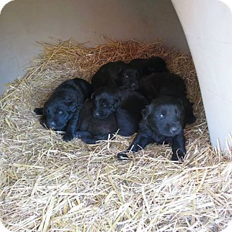 Newfoundland Mix Puppy for adoption in Williston, Vermont - Newfoundland mix puppies!
