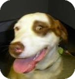 Pointer/Terrier (Unknown Type, Medium) Mix Dog for adoption in Lincolnton, North Carolina - Gerry