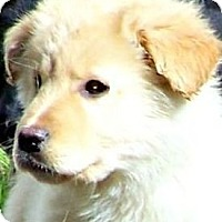 Adopt A Pet :: CREAM BRULEE(ADORABLE PUPPY!! - Wakefield, RI