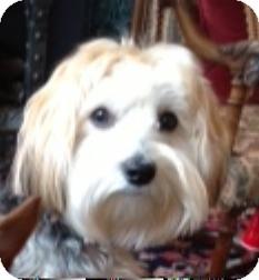 Yorkie, Yorkshire Terrier/Maltese Mix Dog for adoption in Atlanta, Georgia - Hershey