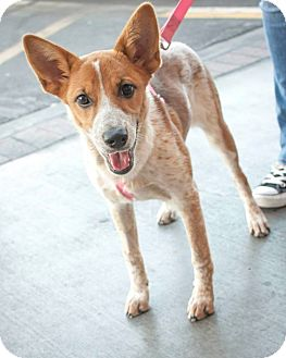 Cattle Dog Puppy for adoption in Las Vegas, Nevada - Mesa