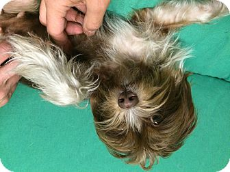 Maltese Mix Dog for adoption in El Segundo, California - Bo