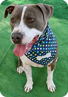 Pit Bull Terrier/American Staffordshire Terrier Mix Dog for adoption in Los Angeles, California - Major