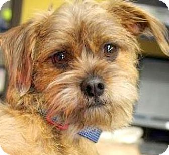 """Terrier (Unknown Type, Small)/Poodle (Toy or Tea Cup) Mix Dog for adoption in Wakefield, Rhode Island - WALTER(OUR """"TERRI-POO"""" SO TINY"""