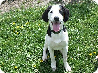 Hound (Unknown Type) Mix Puppy for adoption in Saint Albans, Vermont - Rocky