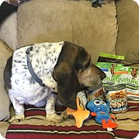 Adopt A Pet :: Daisy of Santa Maria - Acton, CA