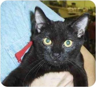 Domestic Shorthair Kitten for adoption in Overland Park, Kansas - Dora