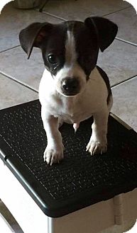 Chihuahua/Jack Russell Terrier Mix Dog for adoption in West Palm Beach, Florida - Sheldon
