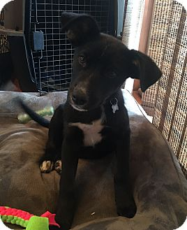 Shepherd (Unknown Type)/Collie Mix Puppy for adoption in Brandon, South Dakota - Charlie