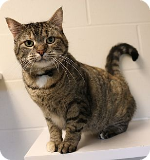 Domestic Shorthair Cat for adoption in Council Bluffs, Iowa - Katy