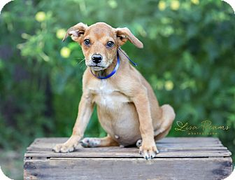 Cattle Dog Mix Puppy for adoption in East Hartford, Connecticut - Bud in CT