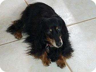 Dachshund Dog for adoption in Weston, Florida - Jazzy