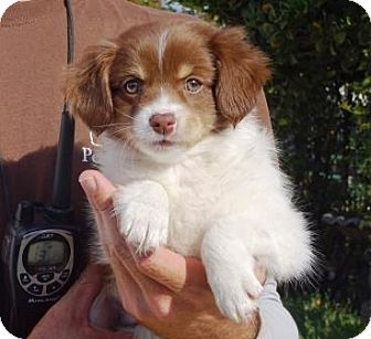 Spaniel (Unknown Type) Mix Puppy for adoption in Lathrop, California - Harper