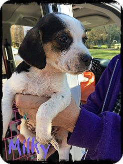 Beagle Mix Puppy for adoption in WESTMINSTER, Maryland - Milky