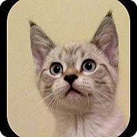 Adopt A Pet :: Lynx - Richmond, VA