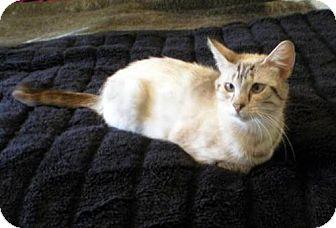 Siamese Cat for adoption in Orlando, Florida - Sandy