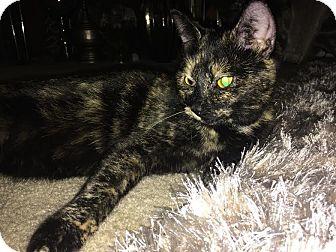 Domestic Shorthair Kitten for adoption in Columbus, Ohio - Tulip