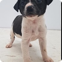 Adopt A Pet :: Cookies & Cream Puppies - Pompton Lakes, NJ