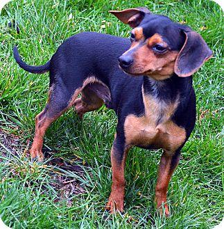 Chihuahua/Dachshund Mix Dog for adoption in Bridgeton, Missouri - Peanut