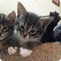 Adopt A Pet :: Avalanche - Troy, MI