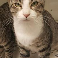 Domestic Shorthair/Domestic Shorthair Mix Cat for adoption in Brownwood, Texas - Jimmy