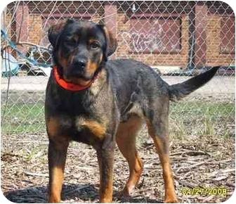 Rottweiler Mix Dog for adoption in Austin, Minnesota - Cortez