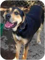 German Shepherd Dog/Hound (Unknown Type) Mix Dog for adoption in New Fairfield, Connecticut - Jake