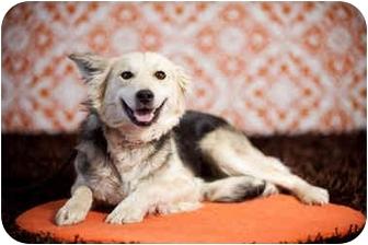 Golden Retriever/German Shepherd Dog Mix Dog for adoption in Portland, Oregon - Muffin