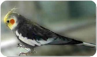 Cockatiel for adoption in San Clemente, California - SYDNEY
