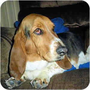 Basset Hound Dog for adoption in Phoenix, Arizona - Elin