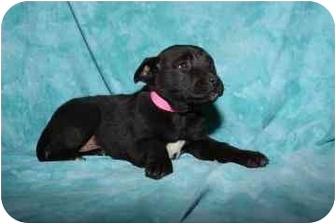 Labrador Retriever Mix Puppy for adoption in Bel Air, Maryland - Hilary