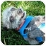 Photo 3 - Poodle (Toy or Tea Cup) Mix Dog for adoption in San Clemente, California - SAILOR