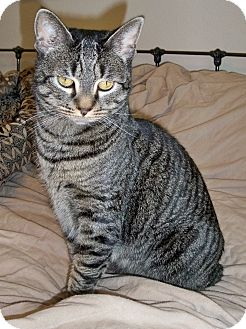 Domestic Shorthair Cat for adoption in Steilacoom, Washington - Tabby (or Sweetness!)