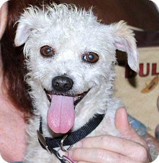Terrier (Unknown Type, Small)/Poodle (Miniature) Mix Dog for adoption in Los Angeles, California - Kirby