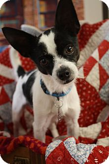 Rat Terrier/Fox Terrier (Toy) Mix Dog for adoption in Knoxville, Tennessee - Sparky