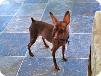 Miniature Pinscher Dog for adoption in Nashville, Tennessee - Rusty