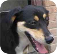 Shepherd (Unknown Type)/Hound (Unknown Type) Mix Puppy for adoption in Piedmont, Missouri - Lady