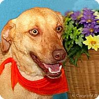Labrador Retriever Mix Dog for adoption in Elizabeth City, North Carolina - Tori