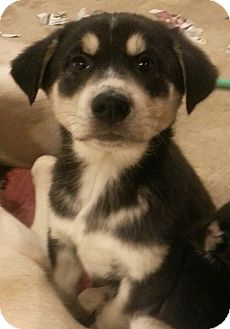 German Shepherd Dog/Husky Mix Puppy for adoption in Chicago, Illinois - Axel*ADOPTED!*