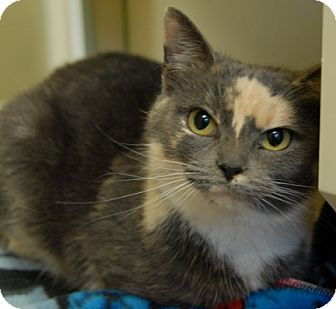 Domestic Shorthair Cat for adoption in Newland, North Carolina - Marble