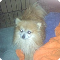 Adopt A Pet :: Cooper - Adorable Pommie Man! - Quentin, PA