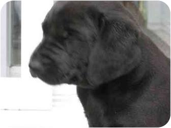 Golden Retriever/Labrador Retriever Mix Puppy for adoption in Wamego, Kansas - Joanna