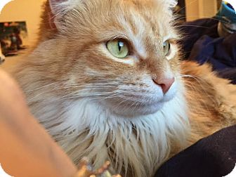 Domestic Mediumhair Cat for adoption in Friendswood, Texas - Kitty