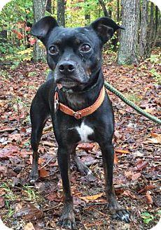 Boston Terrier Mix Dog for adoption in Washington, D.C. - Scout