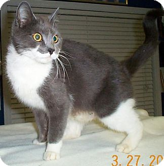 Domestic Shorthair Cat for adoption in Fayetteville, Georgia - Katie