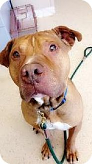 American Pit Bull Terrier Mix Dog for adoption in Janesville, Wisconsin - Tango