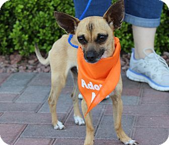 Chihuahua Mix Dog for adoption in Las Vegas, Nevada - HARDY
